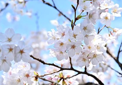 春に咲き誇る桜