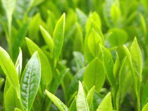 チャエキスが抽出できる新鮮な茶葉