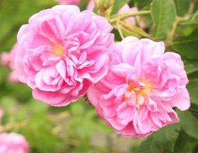 ダマスクローズの花