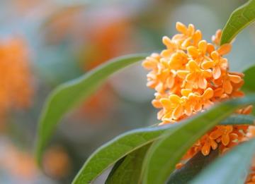 フランキンセンスの花