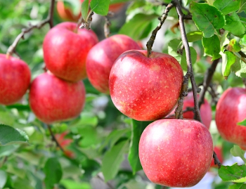 リンゴ幹細胞が抽出できるリンゴのイメージ