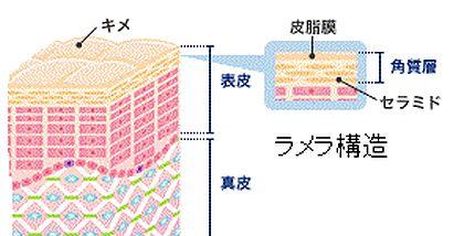 角質層の説明図