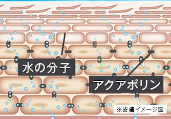 アクアポリンと肌の構造