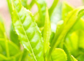 緑茶エキスが抽出できる茶葉