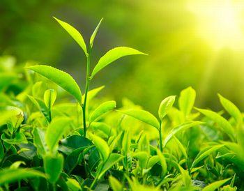 緑茶乾留エキスが抽出できる緑茶の茶葉
