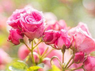 希少な朝摘みのバラ「さ姫」