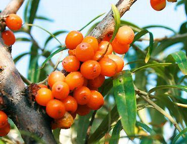 新鮮なサジーの果実