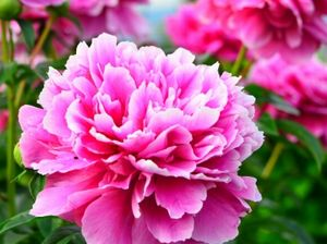 シャクヤクエキスが抽出できるシャクヤクの花