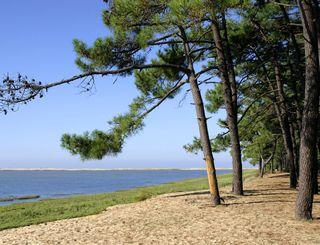 フランス海岸松のイメージ