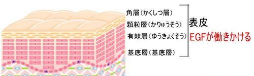 表皮の構造イラスト
