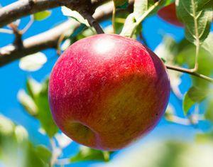 リンゴ幹細胞が生成できる「腐らない奇跡のリンゴ」