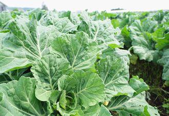 化学肥料不使用、ミネラル農法で育てられたケール