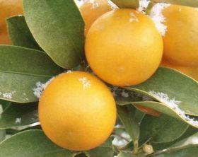 ビタミンPが抽出できる橘の果皮