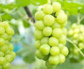 白ブドウ発酵エキスが生成できる白ブドウ