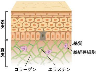 肌の真皮内での線維芽細胞