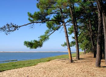 フラバンジェノールが抽出できるフランスの海岸松