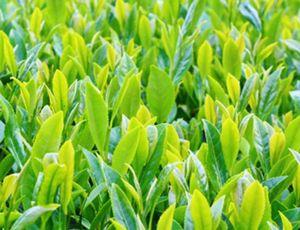 チャエキスが抽出できる緑茶の茶葉