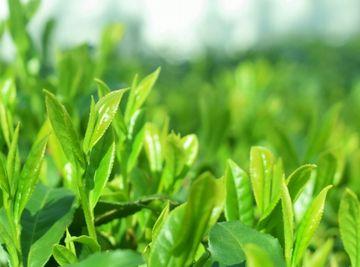 緑茶由来成分が抽出できる茶葉
