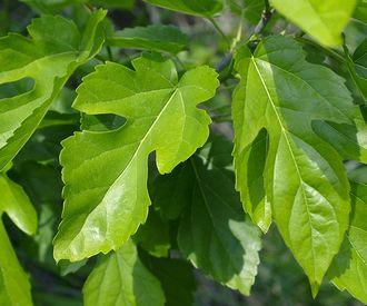 桑葉エキスが抽出できる桑の葉