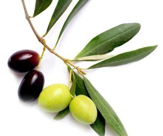オリーブ葉エキスが抽出できるオリーブの葉
