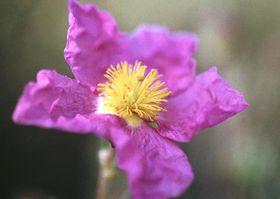 ムラサキゴジアオイの花