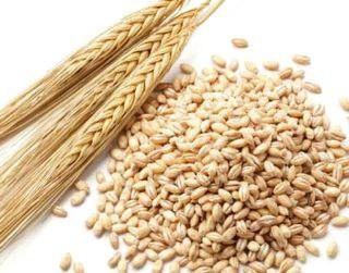 大麦醗酵エキスが抽出できる大麦