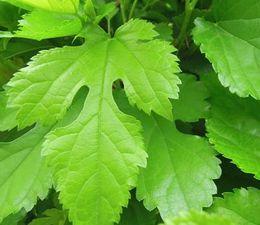 DNJを含む桑の葉