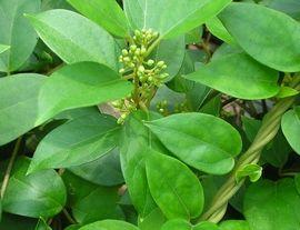 サラシアの葉