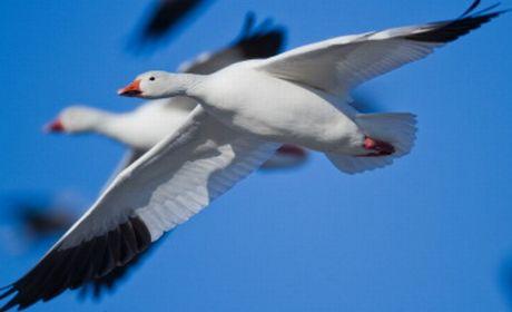 イミダペプチドを有する渡り鳥