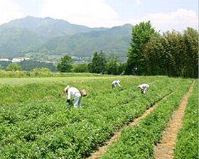 自然農法にて栽培されているよもぎの農場