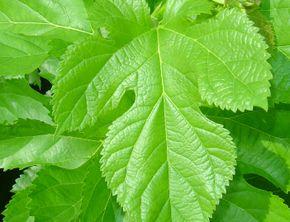糖の吸収を抑える桑の葉