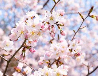 春の風景(桜)