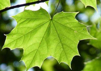 サトウカエデ(メープル)の葉