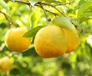 ユズの果実