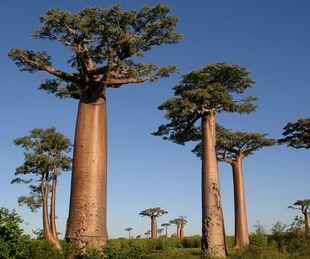 バオバブオイルが抽出できるバオバブの木