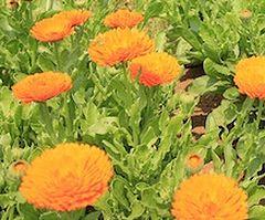 トウセンカの花
