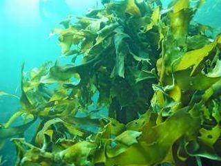 海藻エキスが抽出できる褐藻