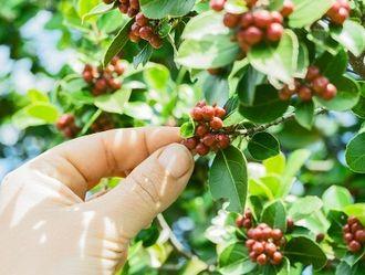 コーヒー豆を収穫する様子