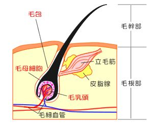頭皮や毛根の構造図