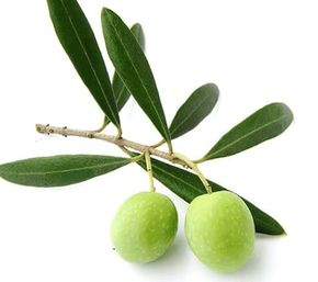 オリーブオイルが抽出できるオリーブの実