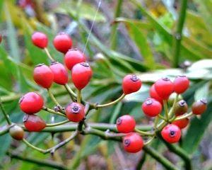 ノイバラの果実