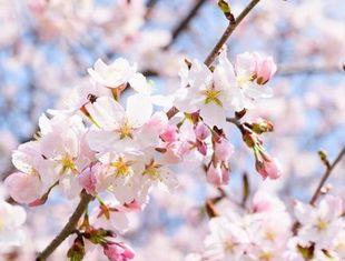 桜葉エキスが抽出できる桜