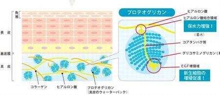 肌内部でのプロテオグリカンの役割