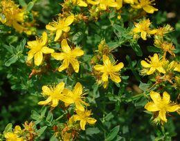 セイヨウオトギリソウの花