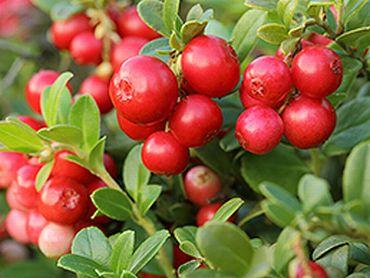 エラグ酸が含まれる植物