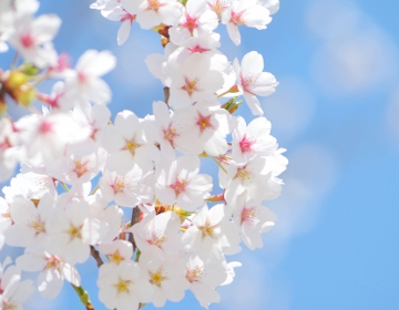 桜葉エキスが抽出できる桜のイメージ