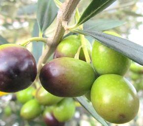 「オリヴェール」品種のオリーブ