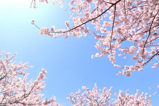 春の桜の風景
