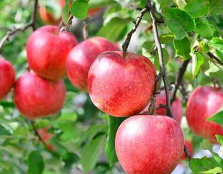 リンゴ幹細胞エキスが抽出できる奇跡のリンゴ