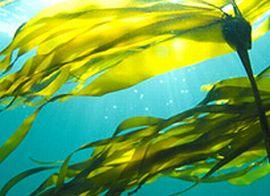 黄金海藻エキスが抽出できる黄金海藻
